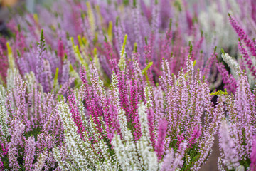 Heather flowers in the pot