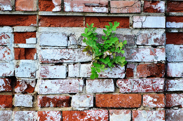 Brick wall. Red brick wall. The flower grows in spite of everything. Flower grows from stone....