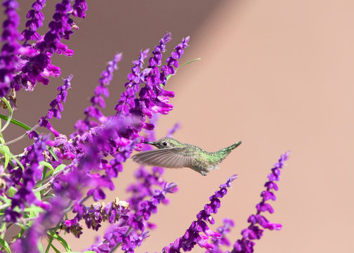 One female Annas Hummingbird flying hoovering drinking nectar from Salvia leucantha flowers, know as Mexican bush sage. Anna's is the only North American hummingbird species with a red crown.