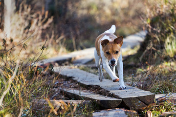 Dog sprinting in autumn trail (Danish–Swedish Farmdog)