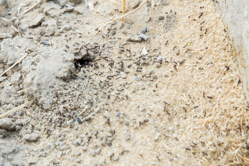 Black ants in desert near an anthill . Sugar ants gather around the hole of their nest . closeup soil around the ant's nest on the ground . Nests ant or small round ant escape holes in the garden.