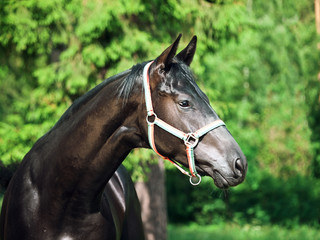 portrait of beautiful black young Trakehner stallion