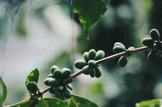 fresh coffee cherry on coffee tree