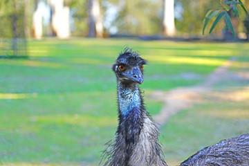 An Emu bird (Dromaius novaehollandiae) in Australia