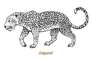 African Wild leopard. Profile Asian cat. Animal jaguar in the jungle. Tattoo artwork. Engraved hand drawn line art Vintage old monochrome sketch, ink. Vector illustration for label. safari symbol.
