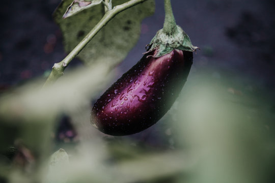 beautiful ripe eggplant weighs on green branch
