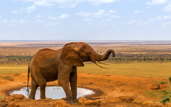 red elephant drinking water