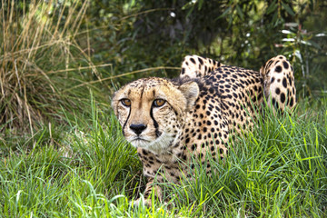 Cheetah in captivity, lying in the grass7