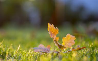 Autumn leaf on green grass, macro closeup.