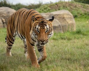 Male Malaysian tiger in captivity