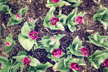 Top view of dark purple tulips in flower bed.