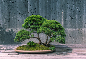 Tuinposter Bonsai A Trimmed Bonsai Tree