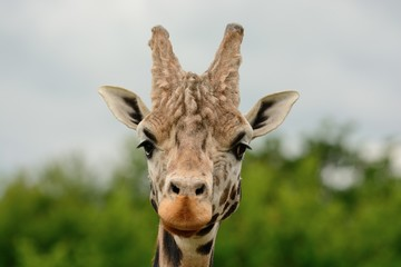 Head shot of a Rothschild's giraffe (giraffa camelopardalis rothschildi) looking at the camera