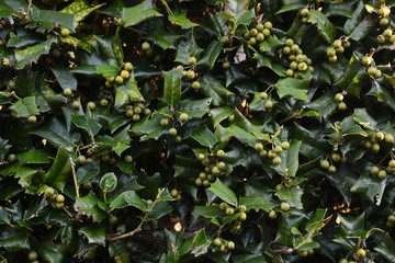 Chinese holly fruits