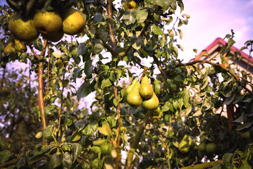 Pear fruit on the tree in the fruit garden.