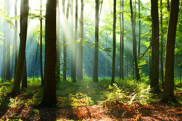 Morning in the forest Fototapete