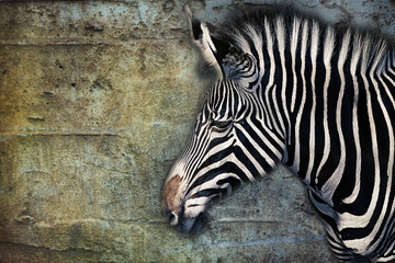 Portrait of a Zebra against an aged stone wall, composite