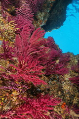 Violescent sea-whip gorgonian soft coral, Paramuricea clavata, underwater in the Mediterranean sea, Cap de Creus, Costa Brava, Spain