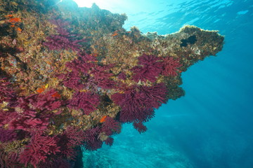 Gorgonian soft coral below rock underwater in the Mediterranean sea, violescent sea-whip Paramuricea clavata, Cap de Creus, Costa Brava, Spain