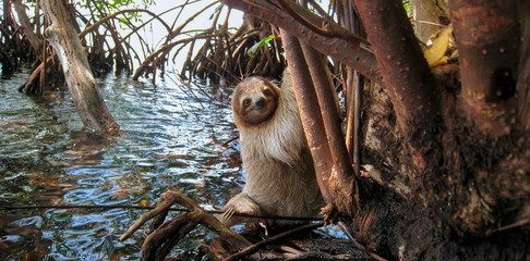 A three toed sloth in the mangrove on the sea shore, Central America