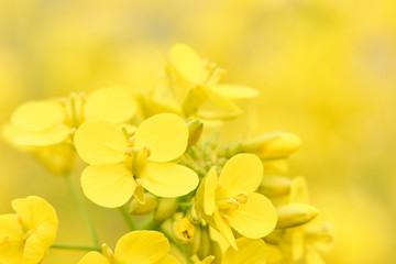 菜の花 アップ