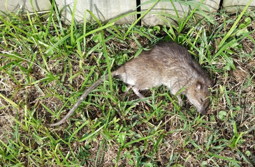 Dead rat on grass next to wood fence.
