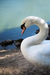closeup of a wild swan