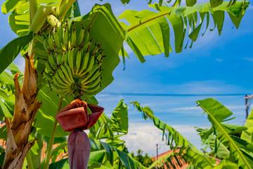 沖縄石垣島 島バナナの木