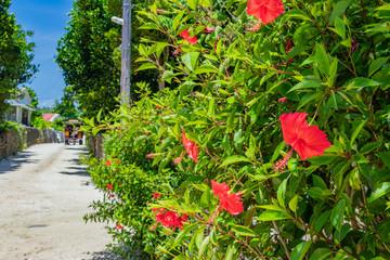 沖縄竹富島  ハイビスカスと白砂の小道