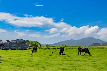 沖縄石垣島 牛の放牧風景 Wall mural