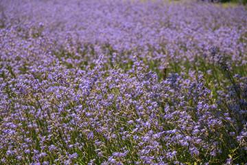 Murdannia giganteum flower on blurry background.