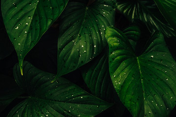 Green tropical leaves and nature background in dark tone