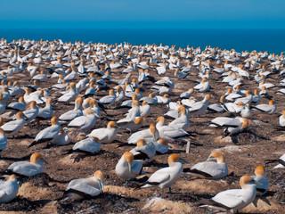 Wall Mural - many gannets in breeding colony new zealand