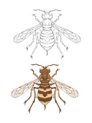 Vector illustration with hand drawn wasp. Two variants of insect: monochrome and colored.