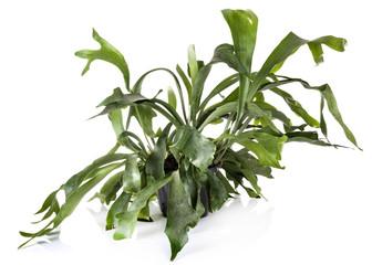 Platycerium plant in studio