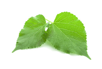 Green Mulberry leaf isolated on white background