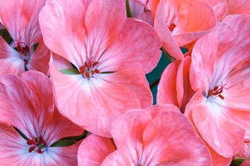 Flores color rosa de la planta del geranio. Geranium.