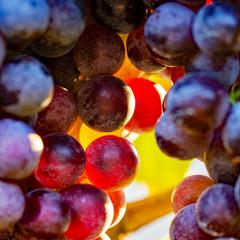 Fototapete - grapes