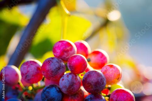 Fototapete Colorful grapes