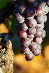 Fototapete - Grappolo d'uva nera