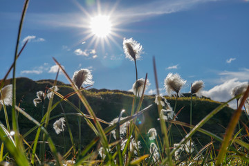 Field of cotton grass in iceland