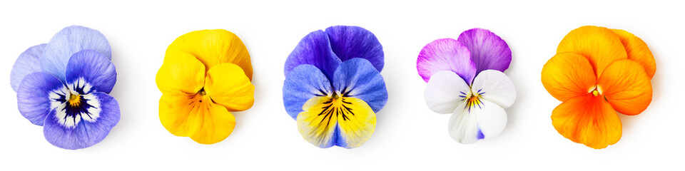 Pansy viola tricolor flowers set
