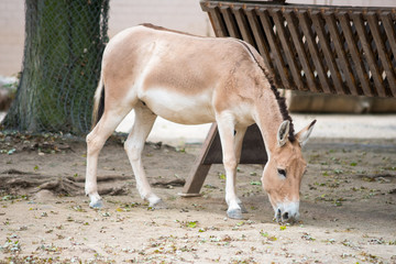 donkey in zoo, facing down, looking for food