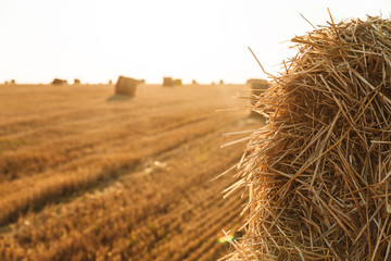 Photo of haystacks after harvesting, on golden wheat field during sunny day