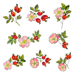 Rosehip set with flowers and berries for tea or medicine illustration. Vector graphic
