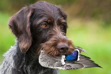 pointer learns to keep the wing of the duck in his teeth