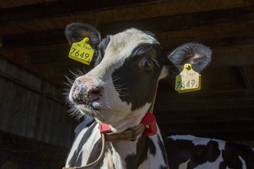 Funny crazy looking cow with red belt and yellow ear tags in a cow shed.