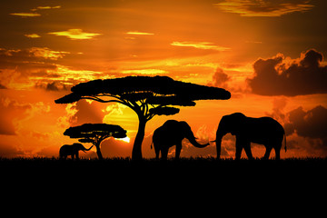 Elephant family in sunset