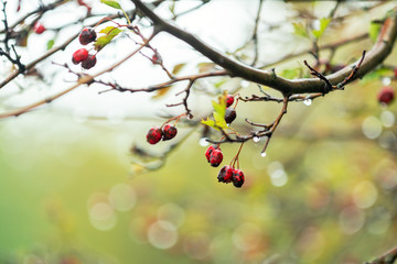 Hawthorn with red berry on the branch, autumn rain water drops