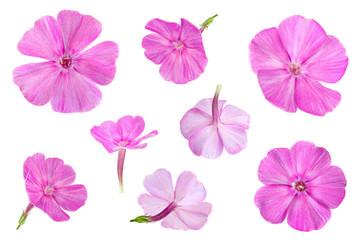 Phlox flower closeup collection